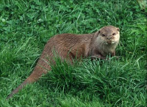 Otter, published with the kind permission of the photographer Anthony Pioli